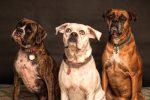 Три собаки породы боксер сидят и попрошайничают