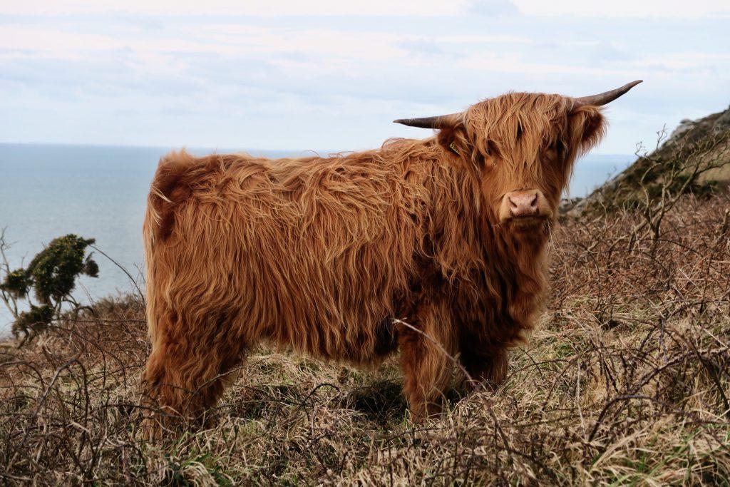 Шотландская волосатая длинношерстная горная корова - горец