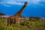 Фото африканского жирафа в природе