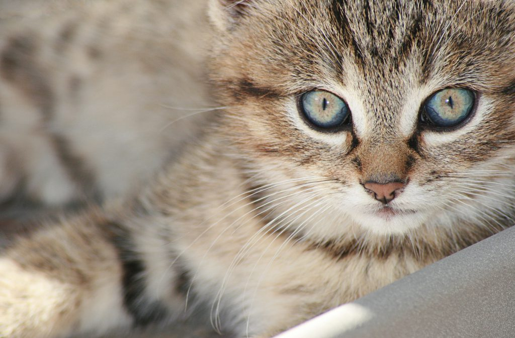 Стоковое фото домашнего серого кота