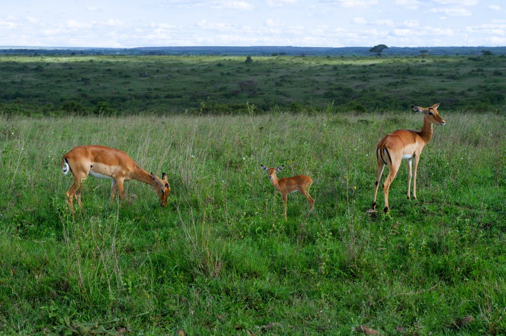Африканская антилопа импала