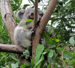 Медведь коала в зоопарке, Австралия
