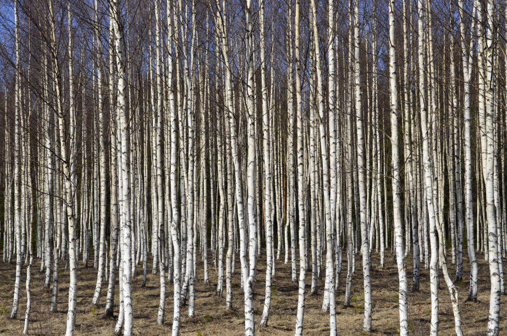 Белый лес фото