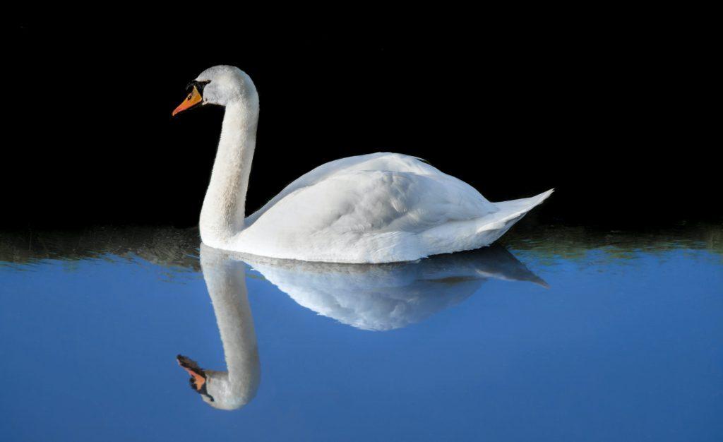 Плывущий белый лебедь