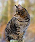 Фото полосатой бенгальской кошки