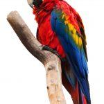 Фото попугая красный ара