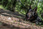Черная собака овчарка в лесу на службе