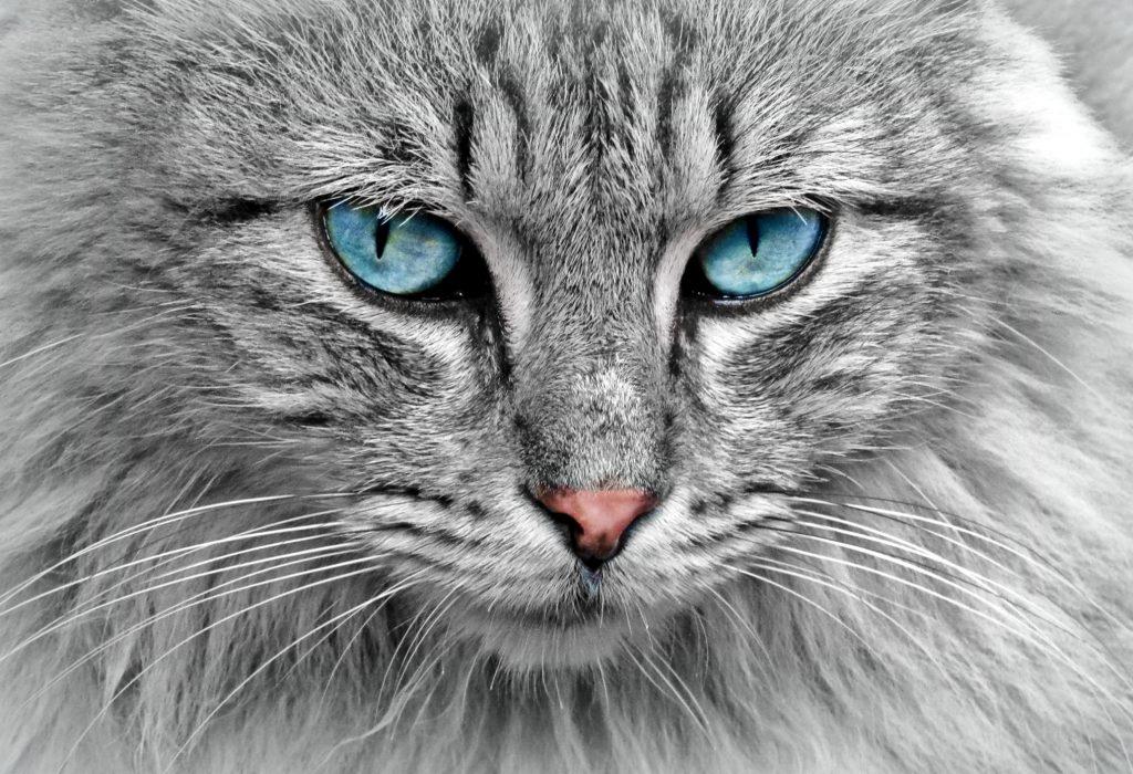 Голубоглазый кот фото