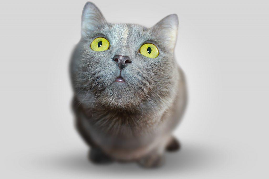 Кот попрошайка фото