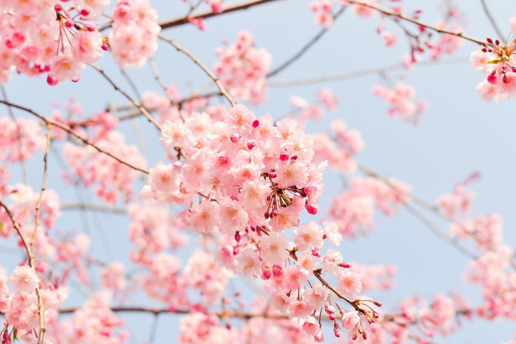 Цветущая вишня сакура