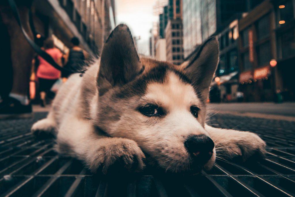 Собака заблудилась в городе и скучает по хозяину