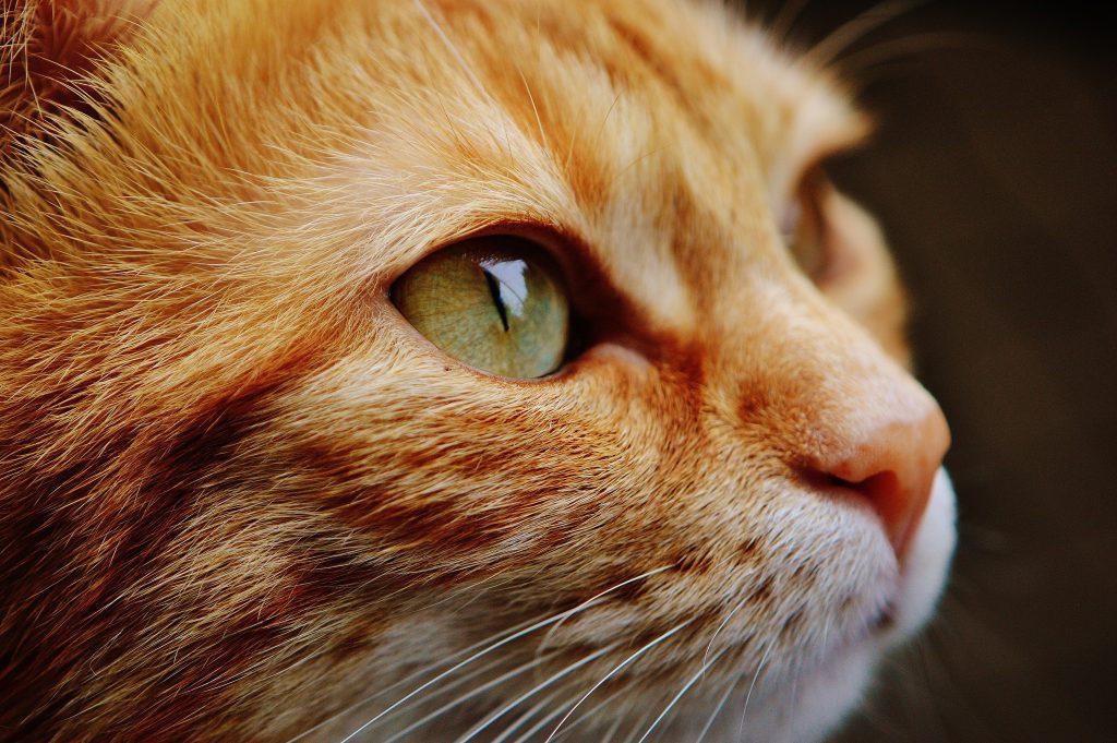 Мордочка рыжего кота фото