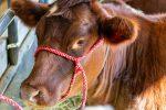 Крупное фото коровы