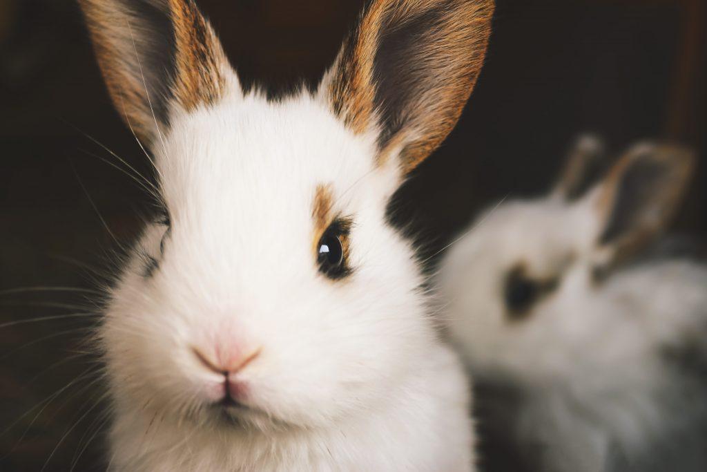 Фото белого кролика