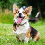 Фото собаки породы Корги