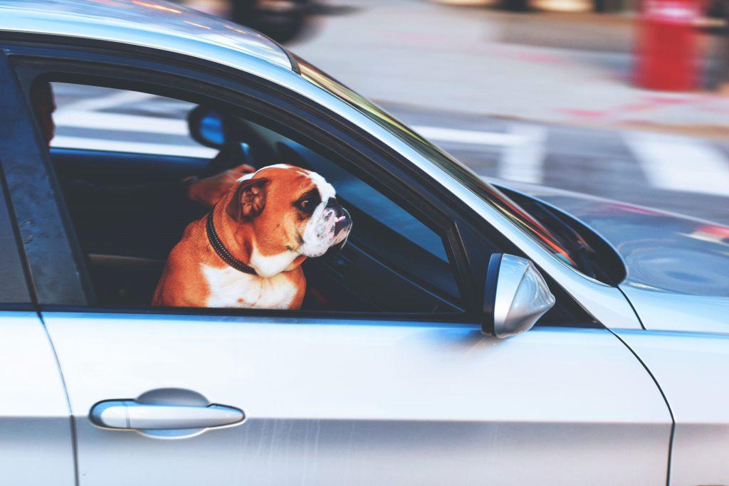 Фото собаки в окне машины