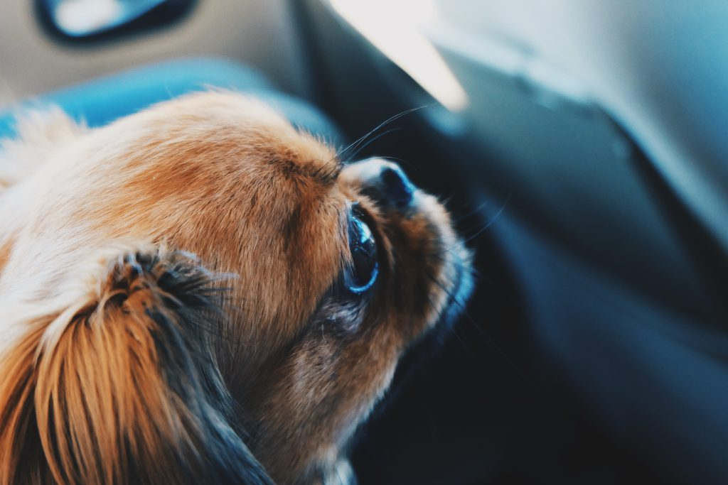 фото собаки пекинес