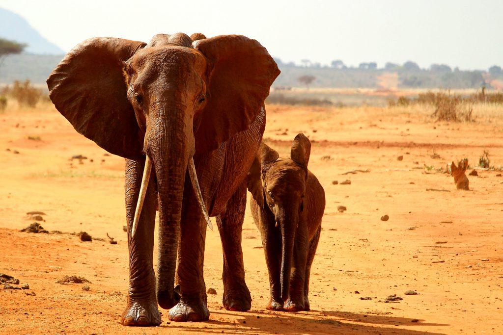 Фото дикого слона в Африке
