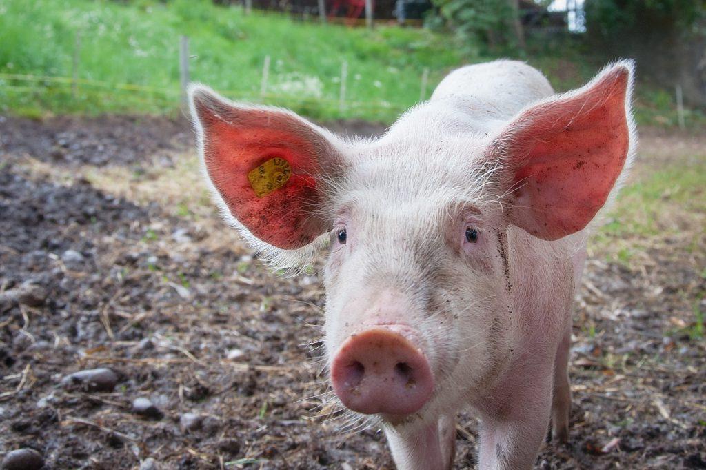 Фото розового поросенка на ферме