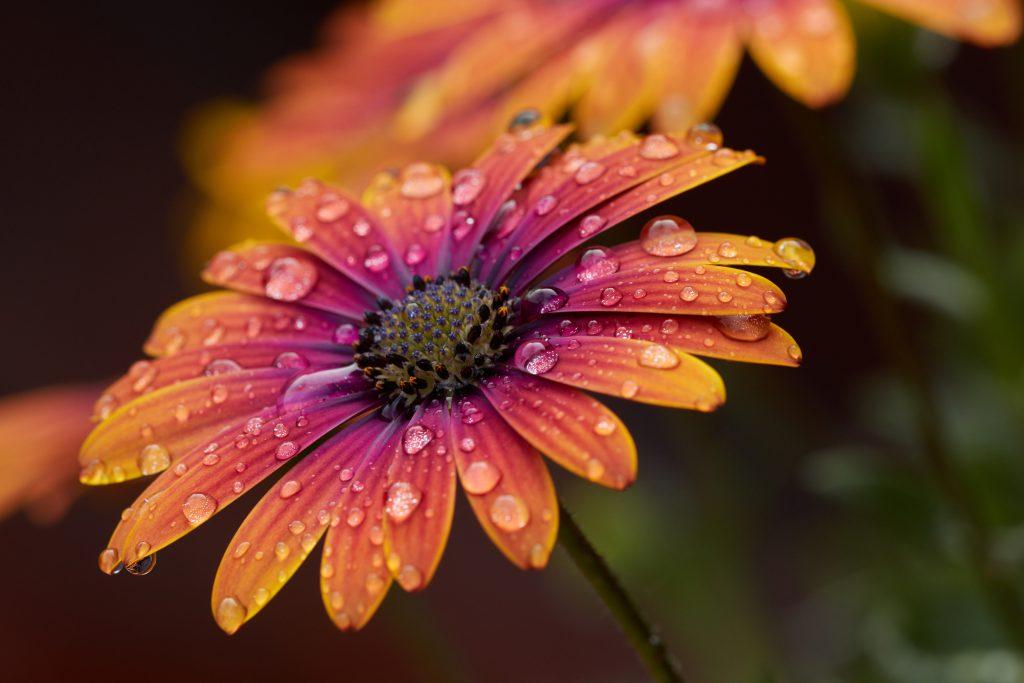 Фото капли воды росы на лепестках цветка хризантемы