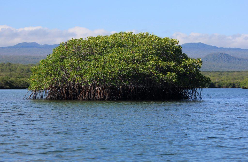 Мангры, мангровые заросли - архипелаг Галапагос