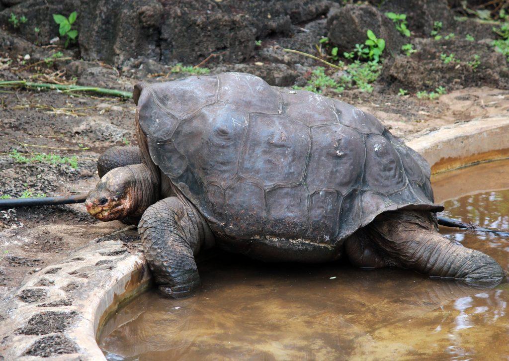 Галапагосская черепаха - Галапагосские острова