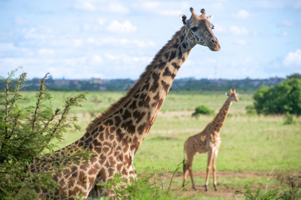 Жирафы в дикой природе