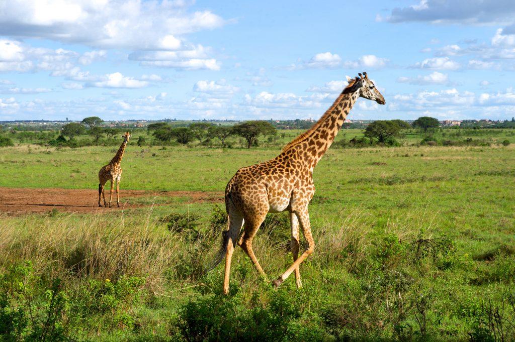 Жирафы в Национальном парке Найроби