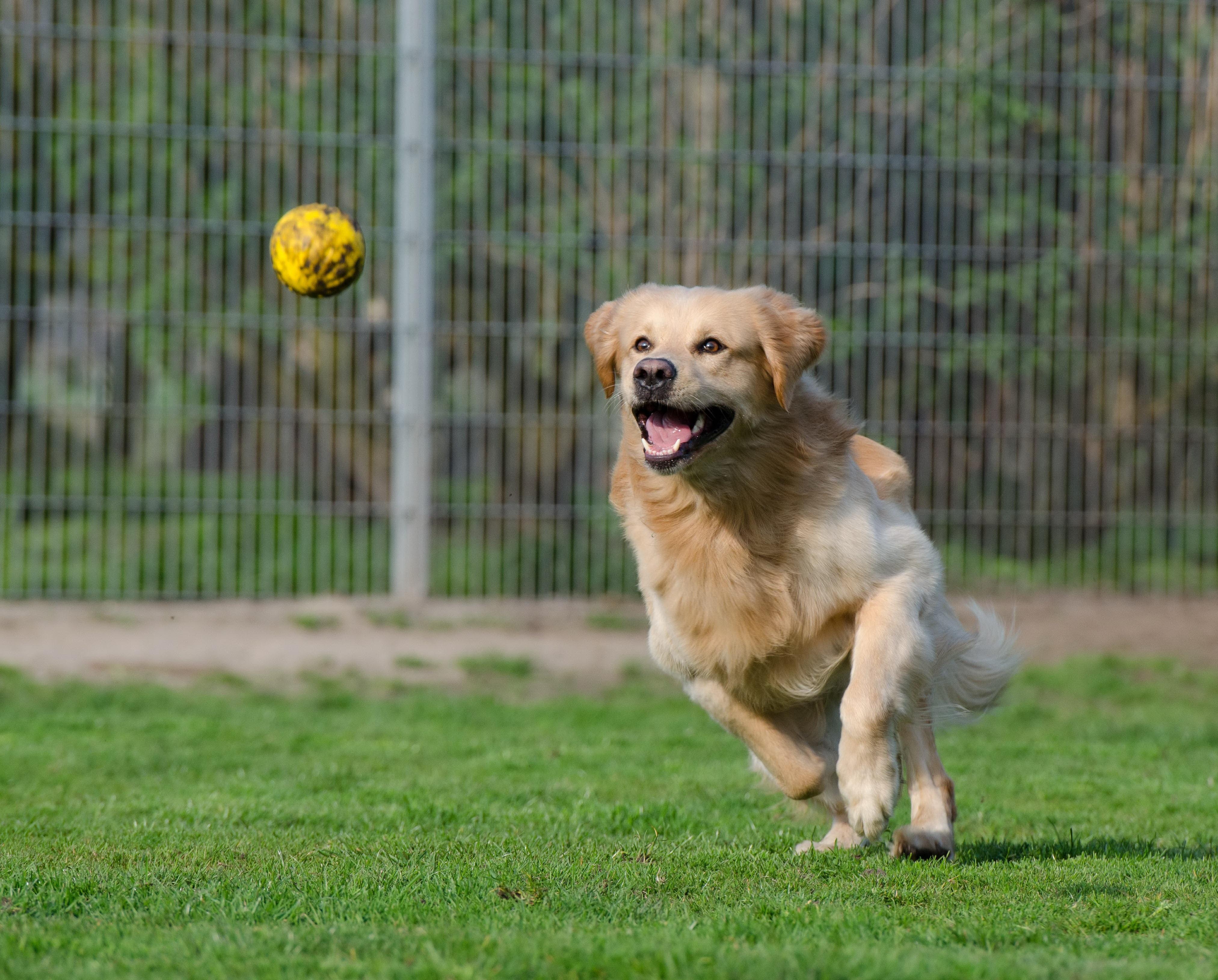 Золотистый ретривер бежит за мячиком фото