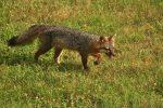 Фото серой дикой лисицы