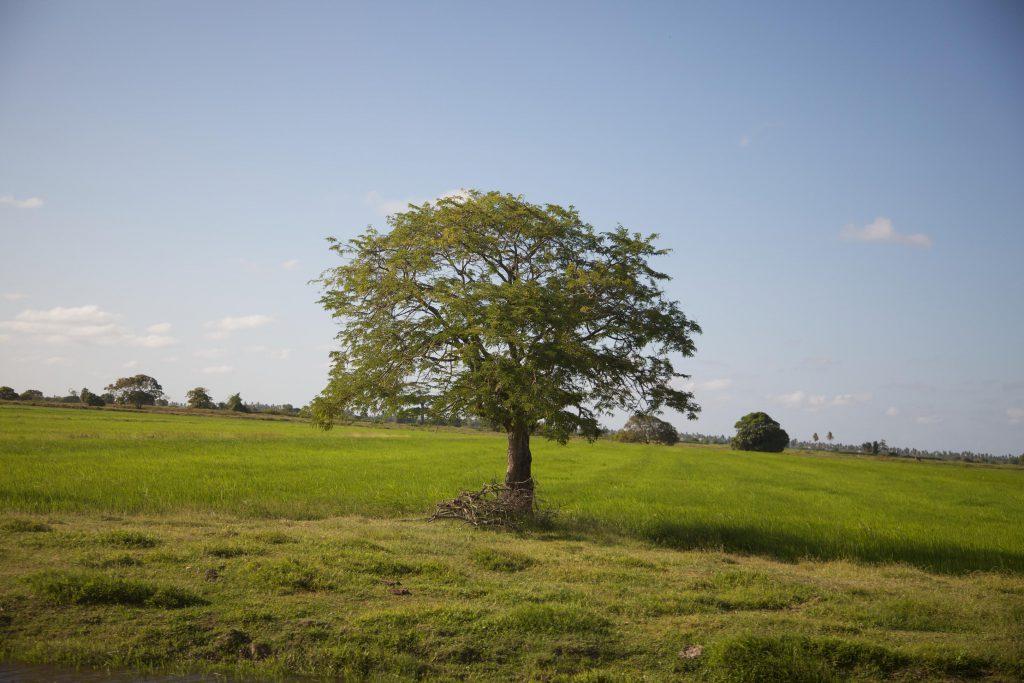 Дерево среди поля фото