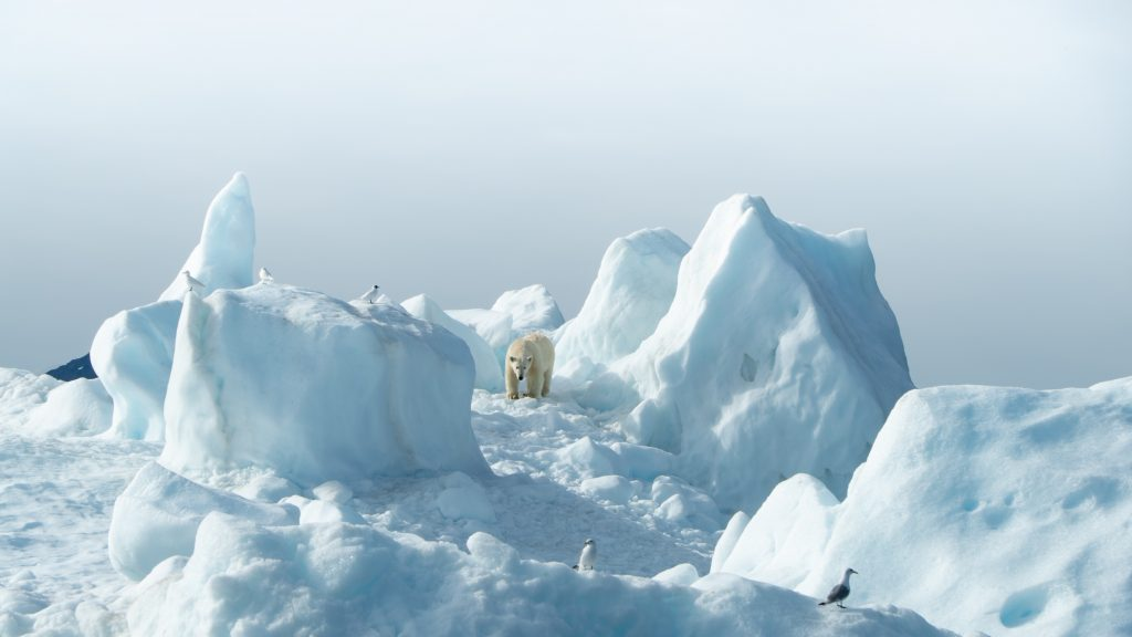 Белый медведь в Гренландии