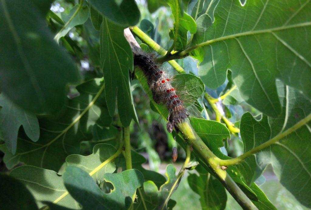 Непарный шелкопряд - мохнатая гусеница с красными точками на спине