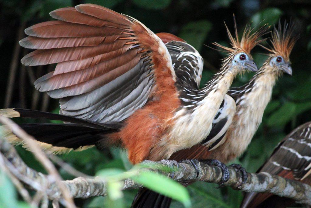 Тропическая редкая исчезающая птица Гоацин