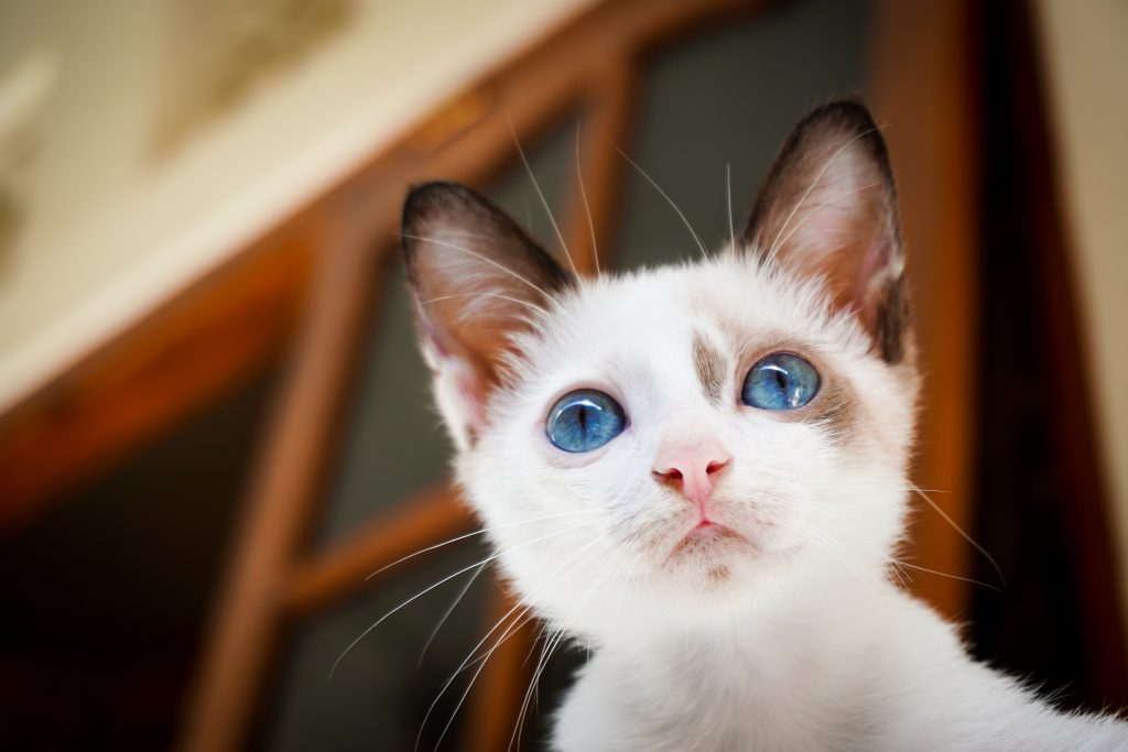 Удивленный и испуганный домашний кот.