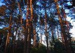 Хвойный лес фото в хорошем качестве