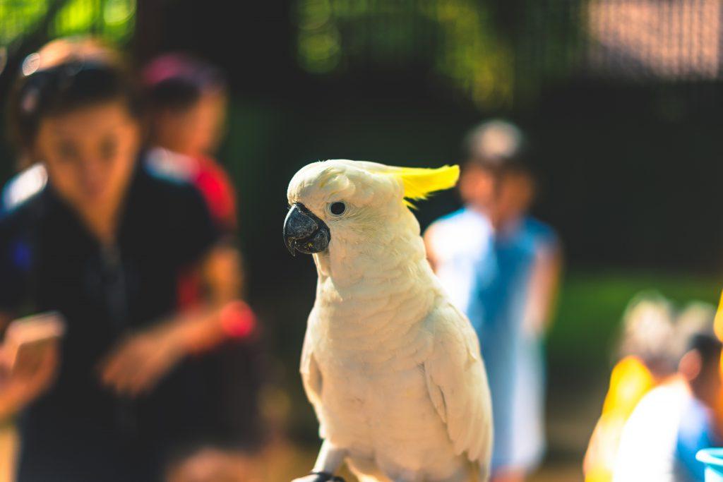 Фото попугая какаду