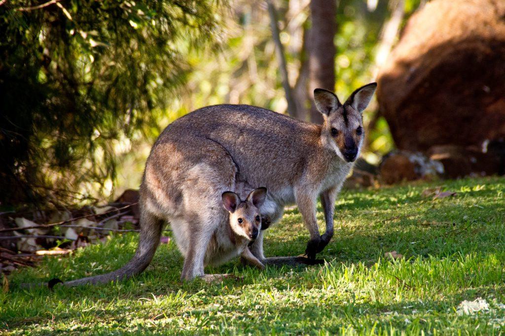 Фото кенгуру в Австралии