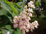 Дерево каштан в цветах - цветение каштана весной