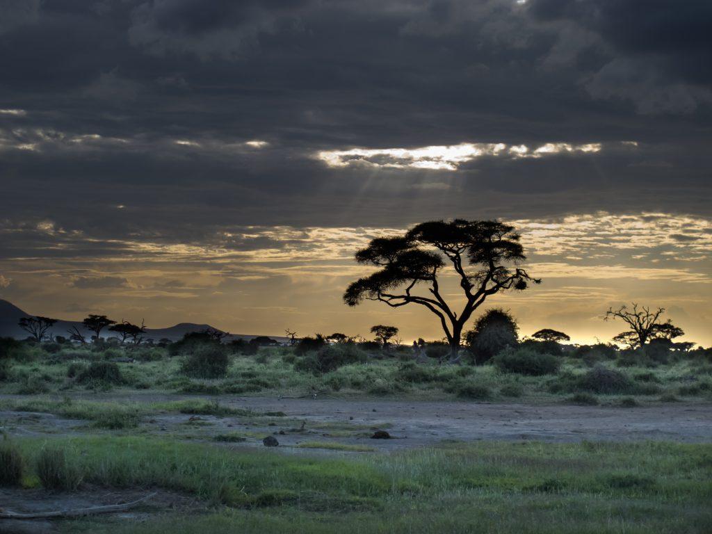 Кения национальный парк. Акация в саванне