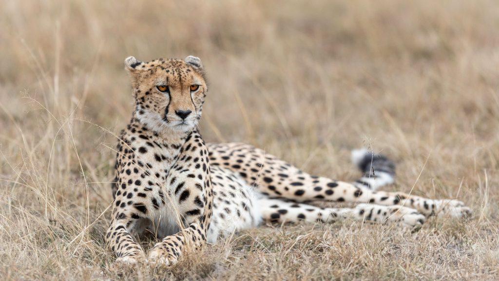 Гепард, заповедник Масаи-Мара, Кения
