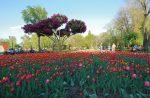 Цветущие тюльпаны на клумбе, парк Наталка в Киеве