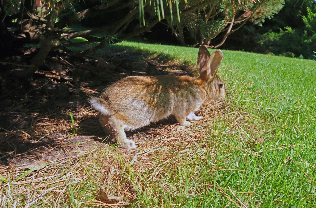 Фото дикого кролика в Межигорье