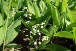 Цветущие весной цветы ландыши