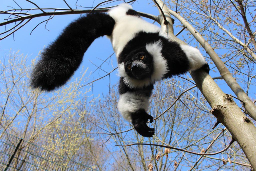Фото лемура из зоопарка Берлина