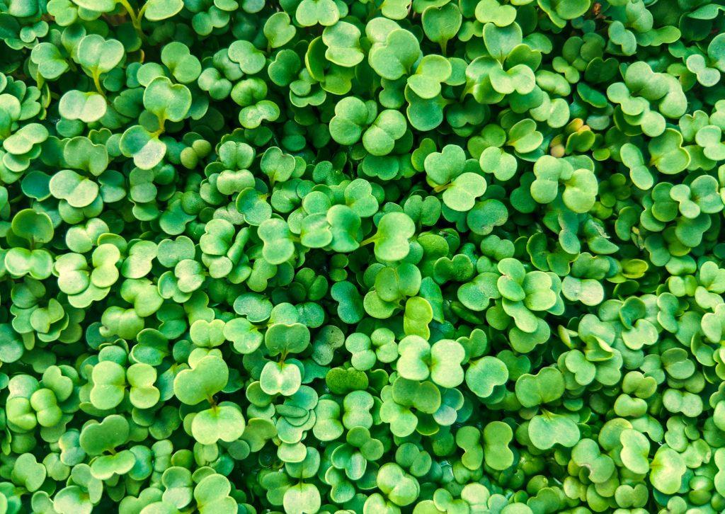 Микрозелень - микрогрин для салата фото