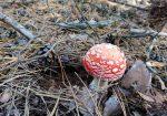 Красный гриб мухомор в лесу, хвоя, шишки и листва