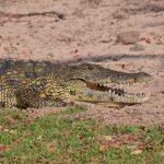 Крокодил, ферма крокодилов в Намибии