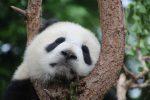 Большая Панда из заповедника в Китае фото