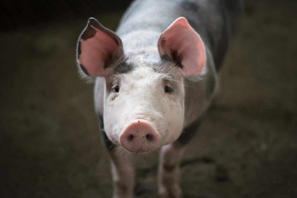 Фото свиньи на ферме